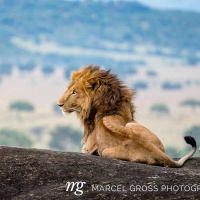 lion sitting on ridge overlooking kidepo valley
