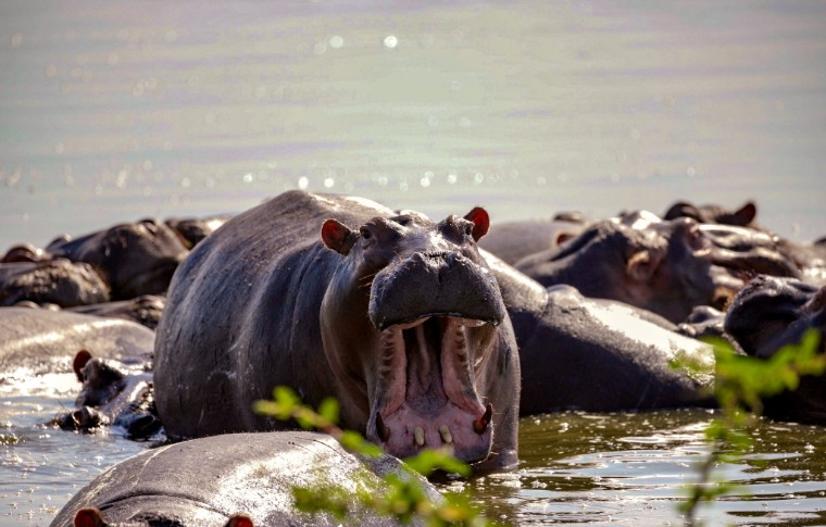 A hippo roars in the river surrounded by other hippos bathing.