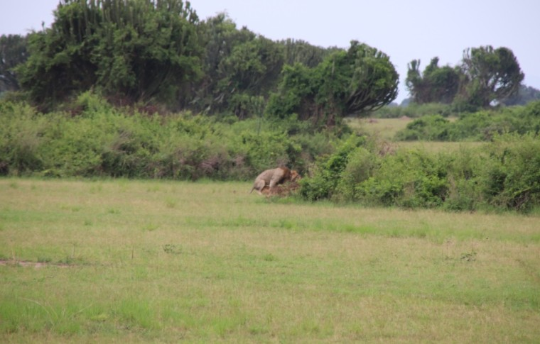 A lion grazes in the corner of the vegetation on the plains.