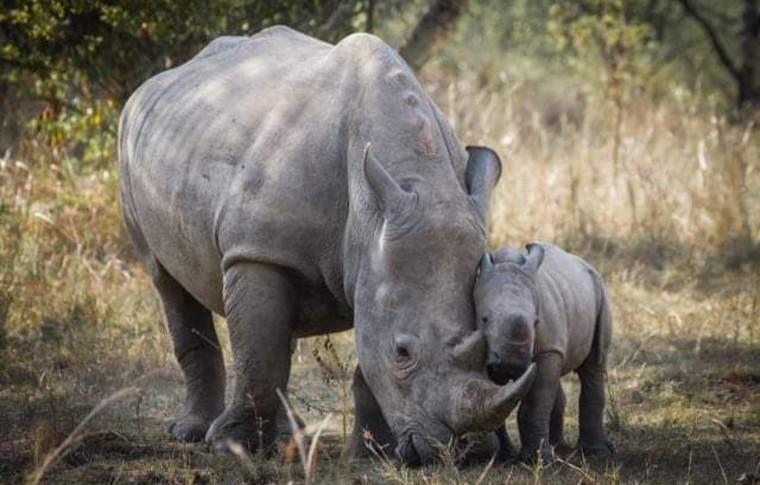 A baby rhino plays with a mother rhino in Ziwa Rhino Sanctuary.