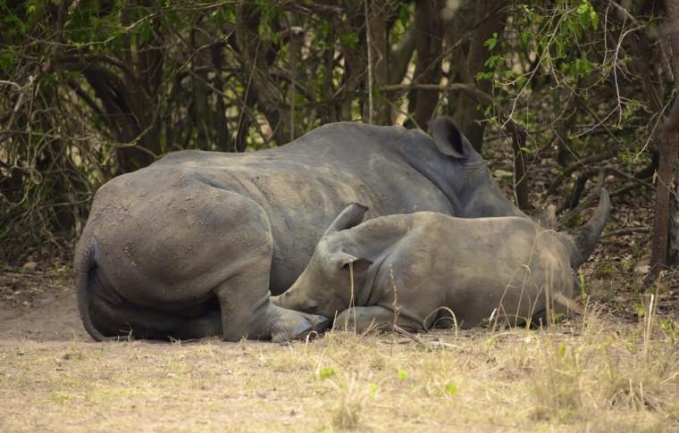 A baby rhino feeds off its mother on this Uganda wildlife safari.