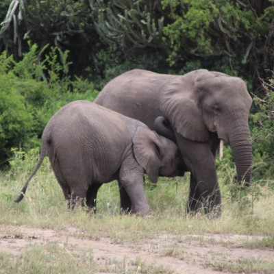 A baby elephant plays with its mother on this Uganda wildlife safari
