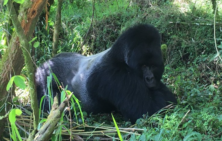 A silverback gorilla plays in the foreston this 3 day gorilla trek uganda.