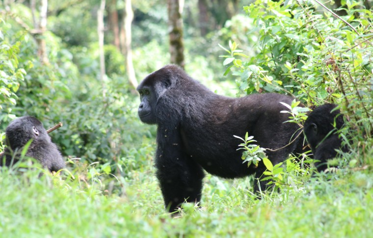 A large gorilla on all fours in the forest.