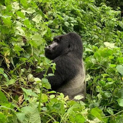 A silverback gorilla plays in the forest on this Uganda gorilla trek.