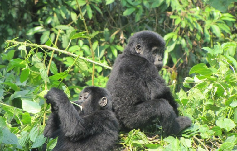 Baby gorillas sit next to each other on this gorilla watching uganda tour.