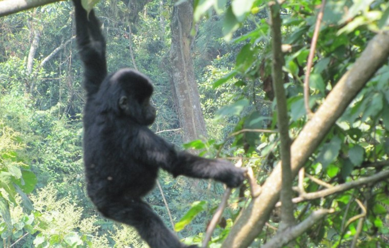 Gorillas swing from the trees on this gorilla safari Uganda.
