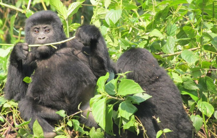 On the Uganda gorilla trek, babies play with their mother.
