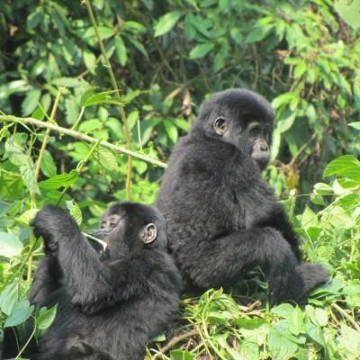 Baby gorillas sit next to each other on this gorilla watching uganda tour.