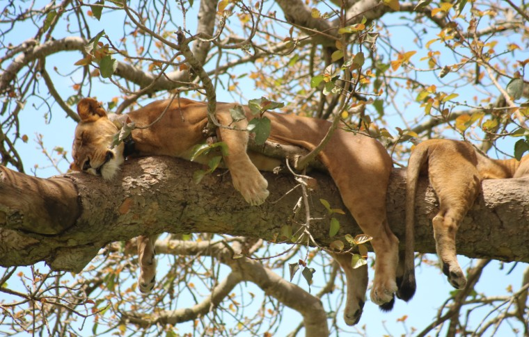Our holidays in Uganda include these tree-climbing lions hanging from the branches.