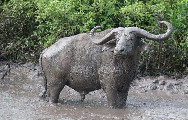 A buffalo in the mud on this Uganda wildlife safari.