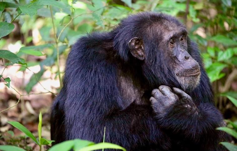 A chimpanzee ponders life in the forest.
