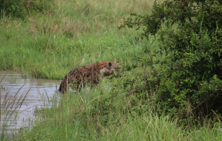A hyena crawls out of the river on the Queen Elizabeth National Park safari.