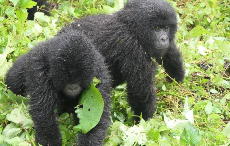Mountain gorilla babies play in the forest on this gorilla safari Uganda.