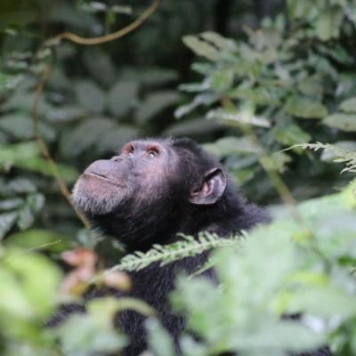 A chimpanzee looks up into the forest Uganda chimp trekking tour.
