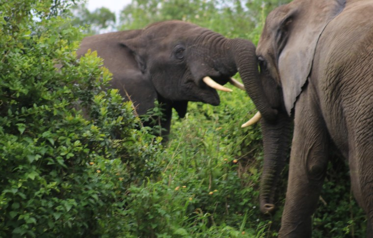 Elephants greet eachother with their trunks on this Uganda wildlife tour.