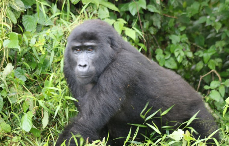 A mountain gorilla strolling through the vegetation on this Uganda gorilla trek.