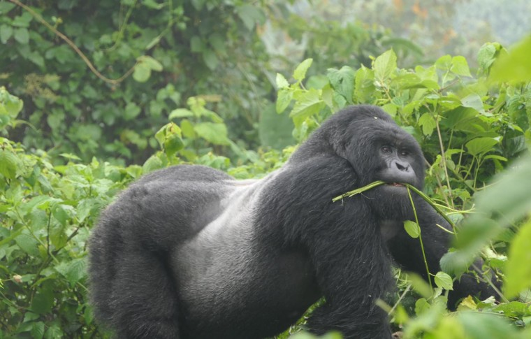 A silverback gorilla eating greenery on the Uganda gorilla trek.