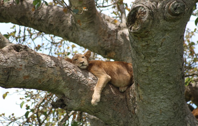 A tree-climbing lion cub lounges on the branch of a tree.