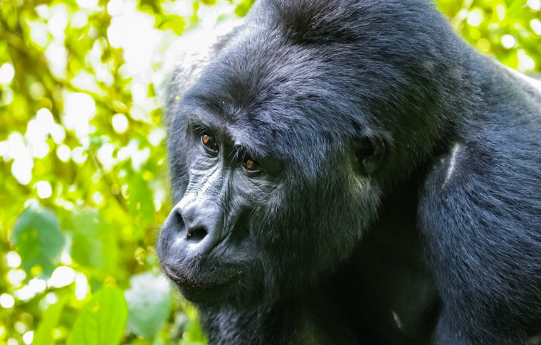 A large silverback gorilla gazes pensively at the forest.