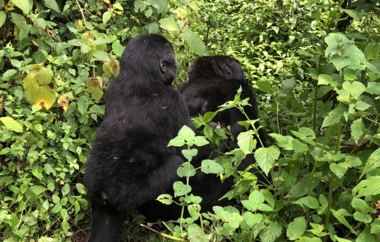 Two baby gorillas play in the forest in Bwindi National Park.