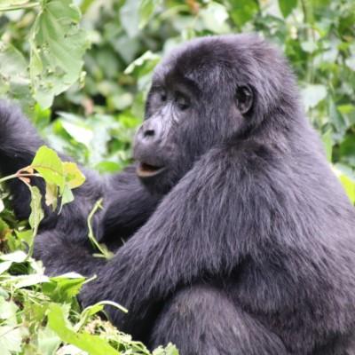 A mountain gorilla plays in the greenery on this Uganda gorilla trek.