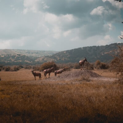 Gazelles graze on a rock in Akagera National Park.