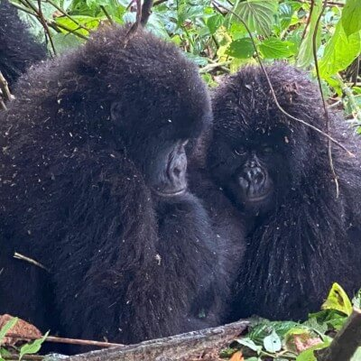 Mountain gorillas play in the rainforests of Congo.