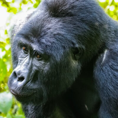 A close up of a gorilla on the Rwanda gorilla safari.