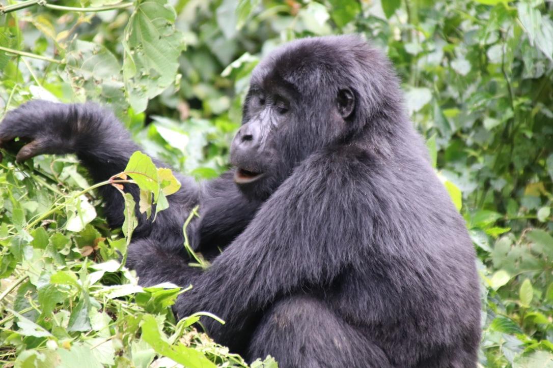 chimpanzee at Kibale national park